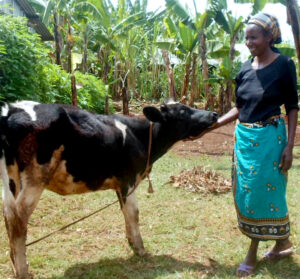 Mary Nduta with a cow copy